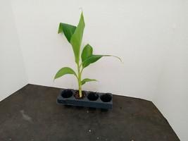 Grand Nain Banana 1 starter plant free shipping - $16.75