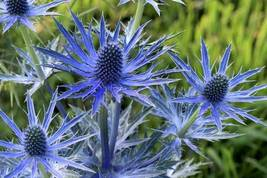 Sea Holly Blue Flower L 60 Seeds - $6.27