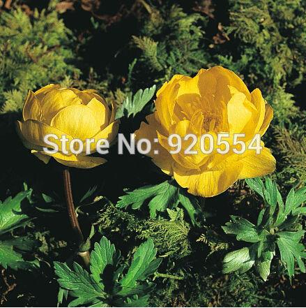 Image of Rare flower,20pcs/lot Trollius europaeus ,Globeflower seeds flower bonsai plant