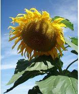 20 GIANT Sunflower seeds  - $7.99