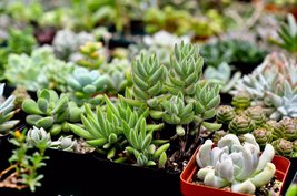 6 or 9 Succulent Plants, Fully Rooted in Planter Pots with Soil - Real Live Pott image 3