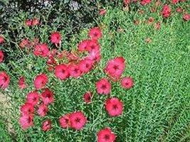 200 Flax Scarlet (Linum rubrum) Seeds - $8.99
