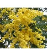 20 Seeds Golden Mimosa Tree Seeds Acacia Baileyana - $11.78