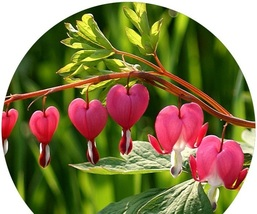 BEST PRICE 5 Seeds Heirloom Red Lamprocapnos,DIY Decorative Plant TS090 DG - $5.00