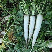 COOL BEANS N SPROUTS - Radish Seeds, Mooli Accord Radish, Radish Seeds, ... - $4.94