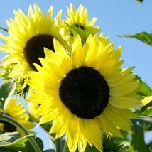 SHIP FROM USA Sunflower Lemon Queen Seeds (Helianthus Annuus) 100+Seeds UDS - $34.93