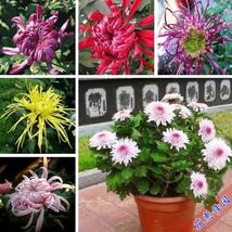 Chrysanthemum flowers and green plantsbonsais indoor courtyard FourSeaso... - $2.79
