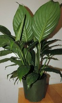 """Peace Lily Live Plant Spathiphyllum Great Houseplant 6"""" Pot Indoor Best ... - $21.73"""