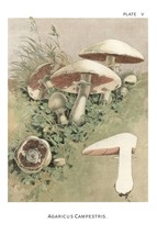 W. Hamilton Gibson: Agaricus Campestris - Harper Publishers - 1895 - $12.82+