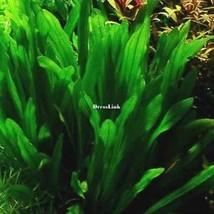 10/20/50 PCS Aquarium Gras Samen Wasser Wasserpflanze Samen Familie DL0 - $2.00