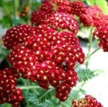 SHIPPED From US, RED YARROW 100 FRESH SEEDS FREE SHIPPING-SPM - $16.99