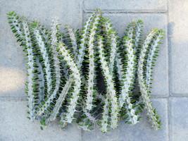 "Ocotillo False Desert Plant - Alluaudia Procera ~ 10"" Madagascar Cuttings - $25.93"