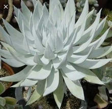 Live Rooted Plant- Dudleya brittonii Giant chalk-Rare Succulent Baby In ... - $9.45