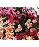 5pcs Seeds Very Exotic Lewisia Cotyledon 'Galaxy Mixed' Flower Bonsai IMA1 - $14.99