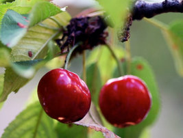 Heirloom 25 Seeds Cherry Tree Shrub Seeds cherry-tree Edible Fruit Seeds image 2