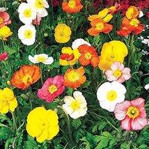 500 Poppy (Iceland Mix) Seeds - $6.93