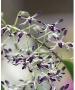 Dendrobium Blue Twinkle Orchid Plant Blooming Size. - $22.49