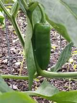15+ ORGANIC Jalapeno Pepper Seeds ~ Hot Spicy Garden Fruit ~ Easy to Grow - $14.99