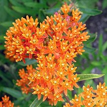Orange Milkweed Butterfly Monarch Butterfly Garden well-rooted cutting - $47.51