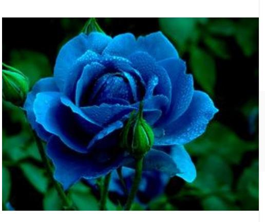 100 Blue Rose Midnight Supreme Rose Seeds Bush Flower Seeds