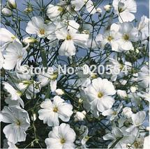 50pcs/original pack Gypsophila elegans,Annual Baby's Breath seed flower bonsai p - $7.11