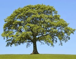 5 Seedlings of Sawtooth Oak Trees - $49.30