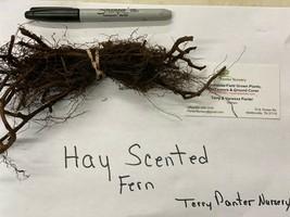 10 Hay Scented Fern clumps(Dennstaedtia punctilobula) image 2