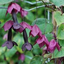 10 Purple Bell Vine - Rhodochiton Atrosanguineus Seeds, Rare exotic vine - $11.05