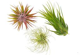Air Plant Tillandsia 3-Pack - Small Air Plant Variety Pack - Easy Care - $17.99