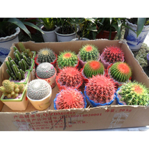 Celestial Being Seeds Cactus Potted Plant Seeds Family Anti-radiation 30... - $4.77