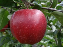 Established 1 Plant 1 in Gallon - JonaGold Apple Tree - Garden - FREE SHIP - $103.99