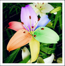 Very Rare Special Color Multi Color Perfume Lily Flower, 2 Bulbs / Pack - $5.45