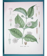 FAMBIEN Medicinal Uncaria Gambir - Beautiful COLOR Botanical Print - $21.42