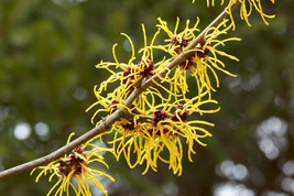 Witch Hazel Shrub, Hammamelis virginiana - Live Bare Root Plant - $45.00