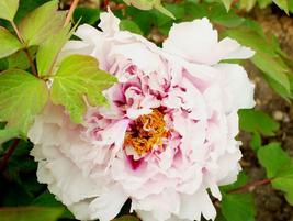 5pcs Very Graceful New 'Feng Xia Zhu' Light Pink Tree Peony Flower Seeds - $12.96