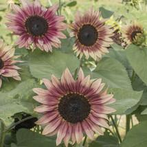 Strawberry Blonde Sunflower Seed, Sunflower Seeds - $21.00
