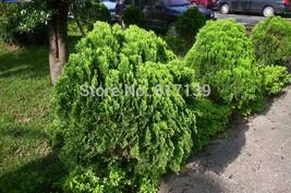 20 Seeds Oriental Arborvitae Platycladus Thuja Orientalis Tree Seeds - $3.95