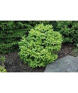 7 Year PLANT of Picea Omorika Peve Tijn - $356.40