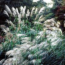 Chinese Silver Grass- New Hybrids(miscanthus)- 10 Seeds - SHIP FROM US - $2.99
