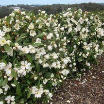 Southern magnolia thumb200