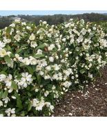 15 Seeds Southern Magnolia Tree Sweet Smelling  - $13.49
