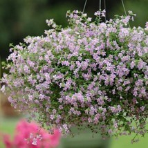 Bacopa Bluetopia Seeds-BLUE- Hanging baskets and window boxes. multi-seed pellet - $13.99