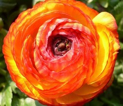 20 seed / pack Beautiful Flowering Blubs Ranunculus-Persian Buttercup New Flower - $14.03