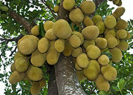 Outdoor Living – Gardening - Jackfruit Or Jack Tree Gallon Plant - tgi - $87.95