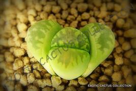 LITHOPS OTZENIANA @@ rare mesembs exotic succulent living stones cactus 30 SEEDS - $8.99