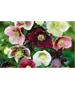 Helleborus Lenten Rose | Mix Color | 20 Fresh Seeds - $5.99