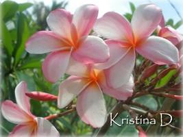 Free Bonus cutting Fragrant Rare Exotic  Kristina D  Plumeria Frangipani cutting - $13.95