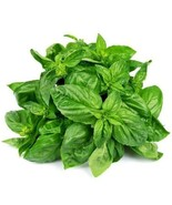 SHIP FROM US 80,000 Sweet Basil Herb Seeds - Microgreens or Garden, ZG09 - $55.56