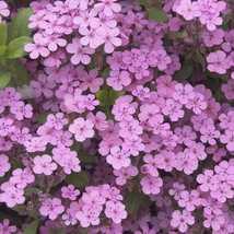 Soapwort (Saponaria) Pink 100 Fower Seeds - $12.98