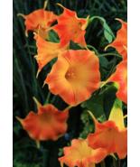 100pcs orange Morning Glory Flower Bonsai Seeds - $14.99